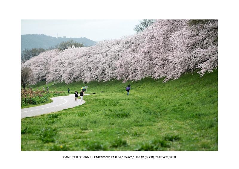 絶景京都・八幡市背割堤地区の桜さくら見頃3.jpg