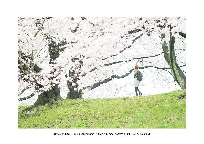 絶景京都・八幡市背割堤地区の桜さくら見頃4.jpg