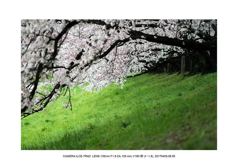 絶景京都・八幡市背割堤地区の桜さくら見頃5.jpg