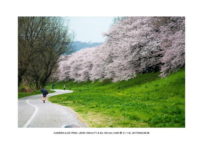 絶景京都・八幡市背割堤地区の桜さくら見頃6.jpg