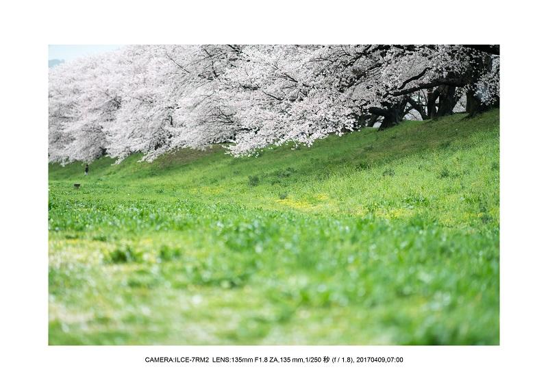 絶景京都・八幡市背割堤地区の桜さくら見頃7.jpg