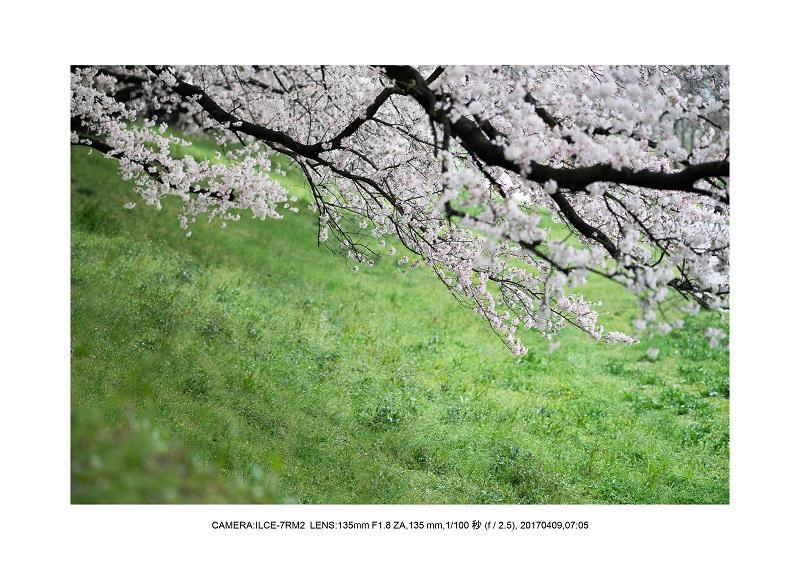 絶景京都・八幡市背割堤地区の桜さくら見頃8.jpg