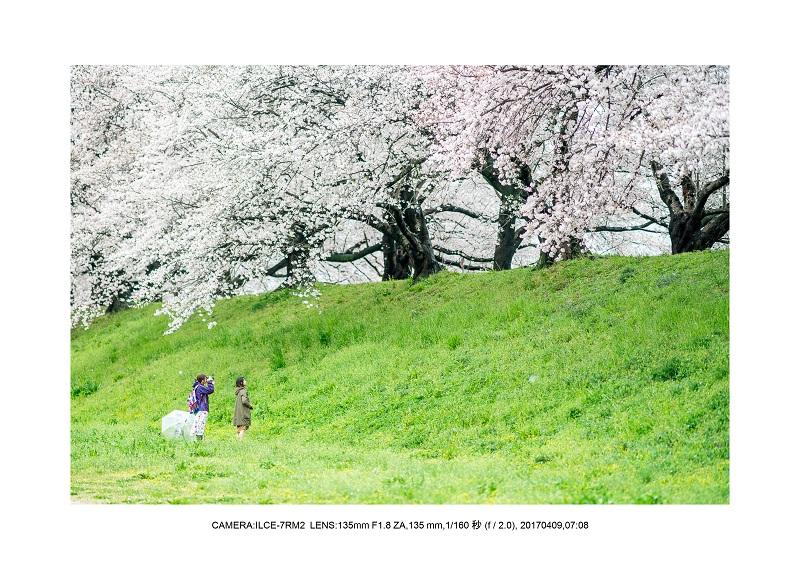 絶景京都・八幡市背割堤地区の桜さくら見頃9.jpg