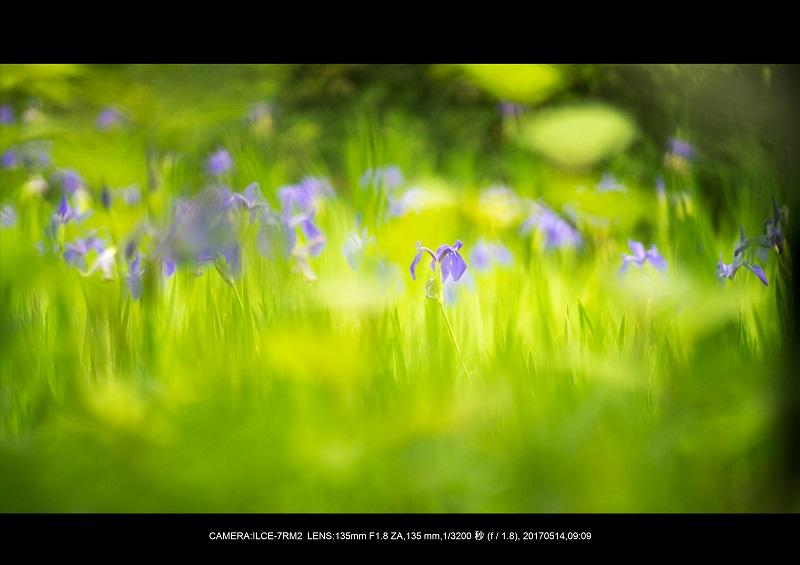 絶景京都・旅行記画像・春の新緑太田神社のカキツバタ5月13-2.jpg