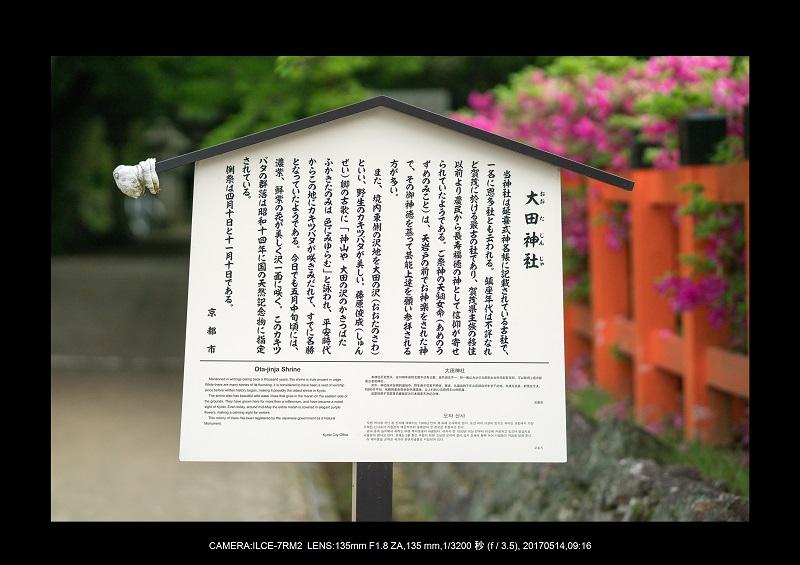 絶景京都・旅行記画像・春の新緑太田神社のカキツバタ5月15.jpg