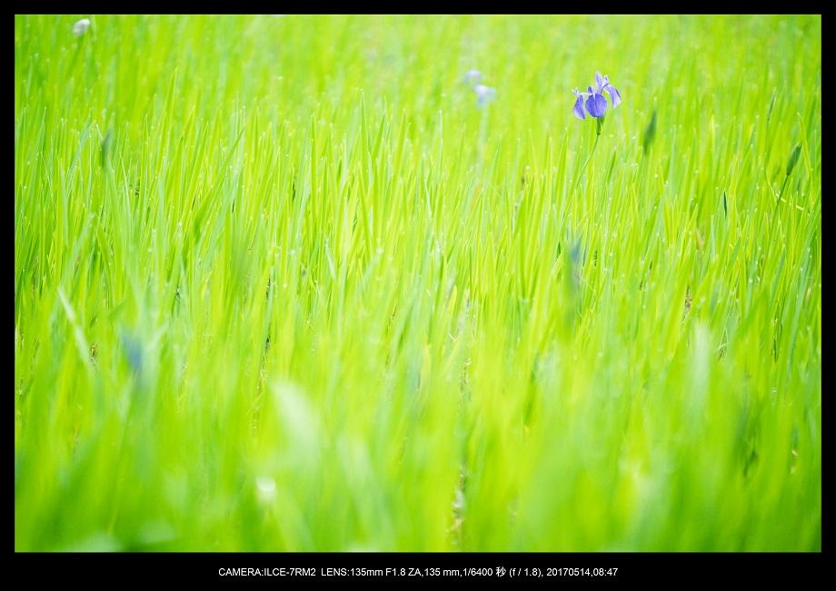 絶景京都・旅行記画像・春の新緑太田神社のカキツバタ5月4-1.jpg