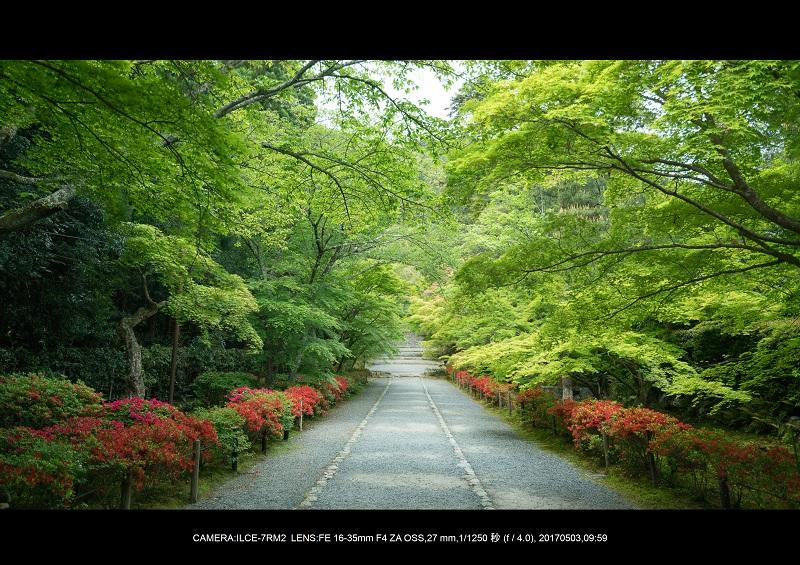 絶景京都・春の新緑青もみじの二尊院5月1.jpg