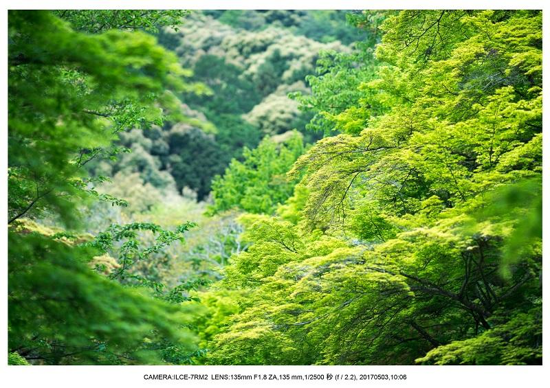 絶景京都・春の新緑青もみじの二尊院5月3.jpg