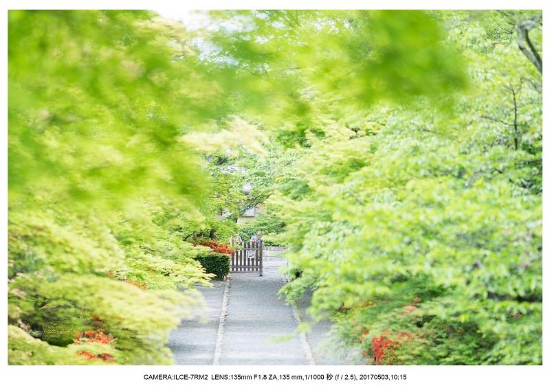 絶景京都・春の新緑青もみじの二尊院5月6.jpg