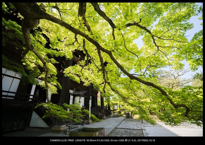 絶景京都・春の新緑青もみじの真如堂5月3.jpg