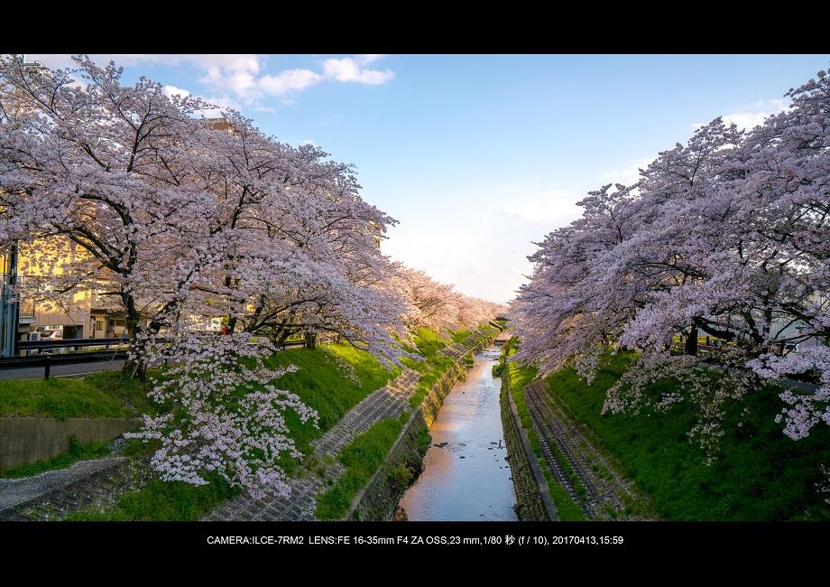 絶景奈良・佐保川の桜さくら並木見頃満開00-2.jpg
