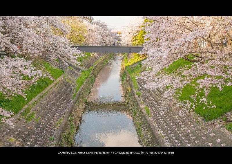 絶景奈良・佐保川の桜さくら並木見頃満開3.jpg