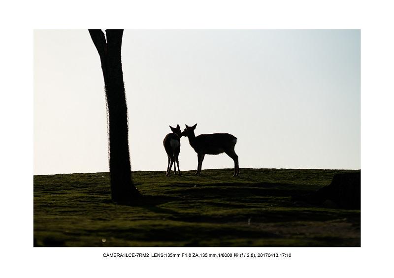 絶景奈良・奈良公園若草山鹿のシルエット桜2.jpg