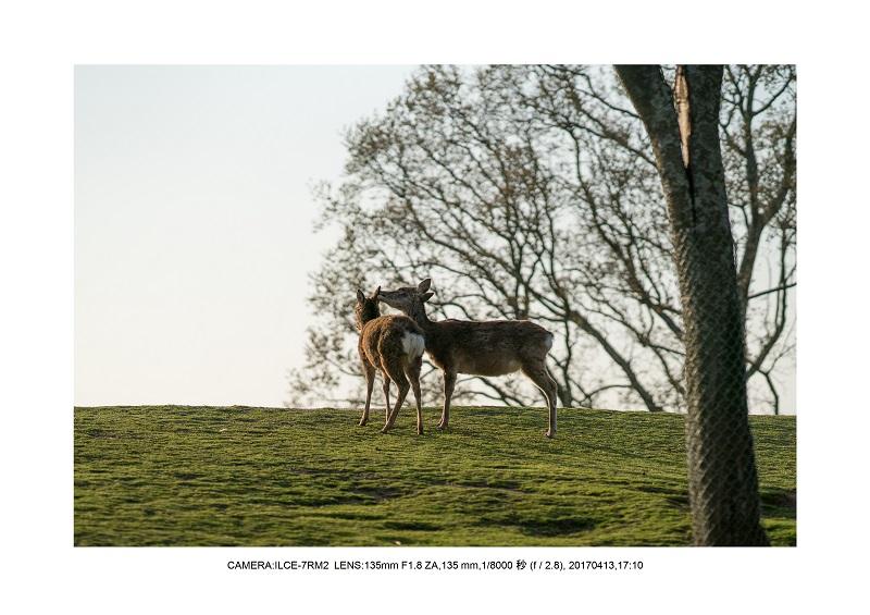 絶景奈良・奈良公園若草山鹿のシルエット桜3.jpg