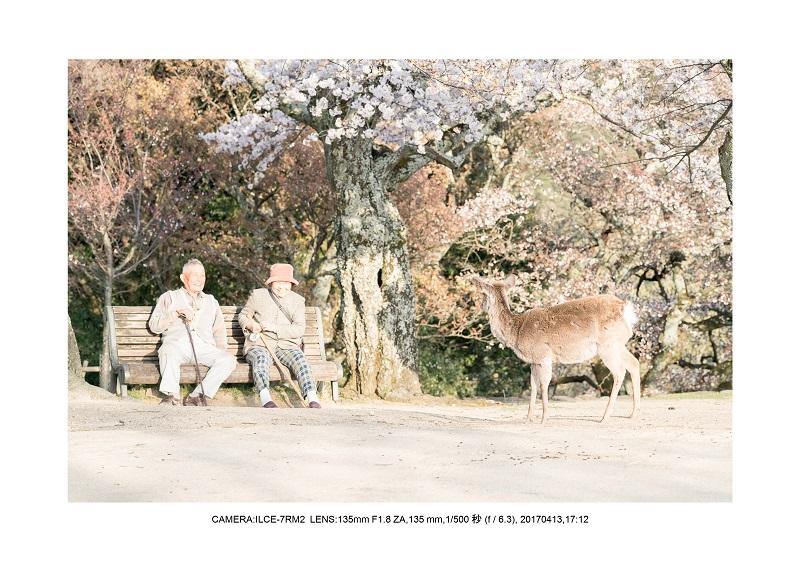 絶景奈良・奈良公園若草山鹿のシルエット桜4.jpg