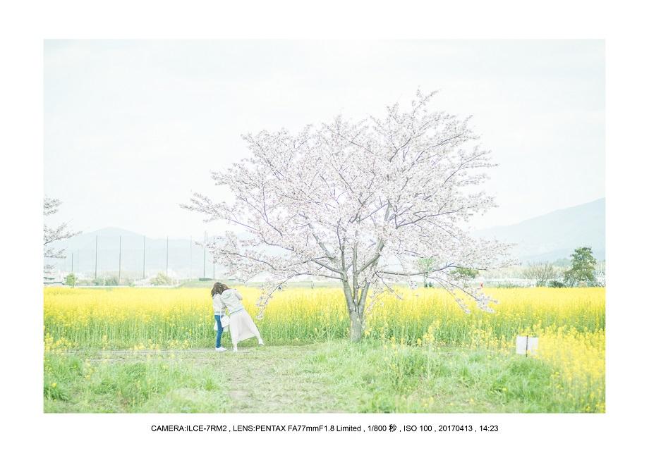 絶景奈良橿原市・藤原宮跡の桜さくら見頃風景0.jpg