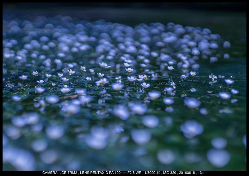 醒ヶ井(さめがい)の梅花藻(ばいかも)_10.jpg