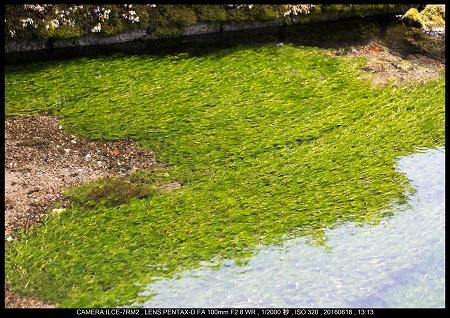 醒ヶ井(さめがい)の梅花藻(ばいかも)_11.jpg