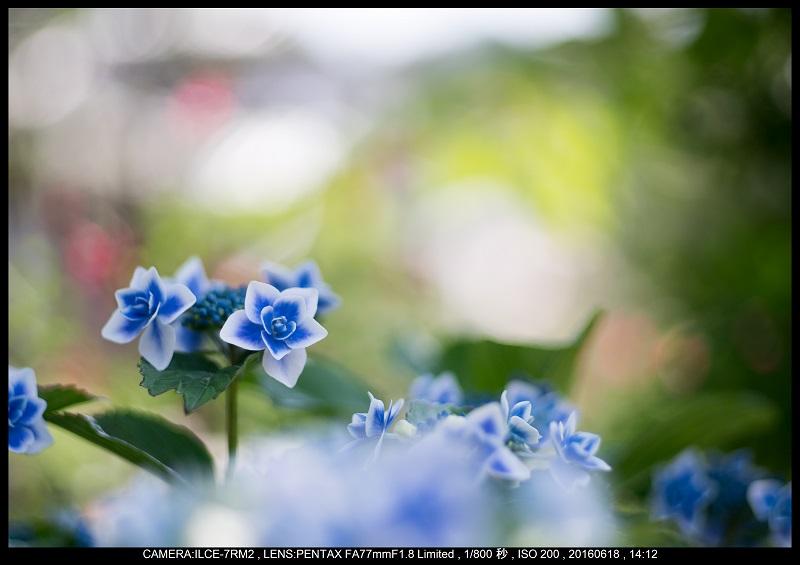 醒ヶ井(さめがい)の梅花藻(ばいかも)_19.jpg