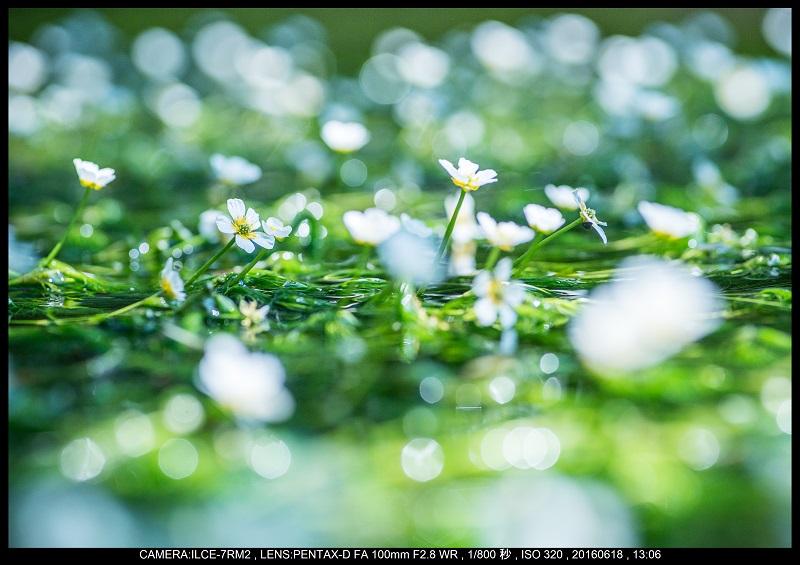 醒ヶ井(さめがい)の梅花藻(ばいかも)_6.jpg