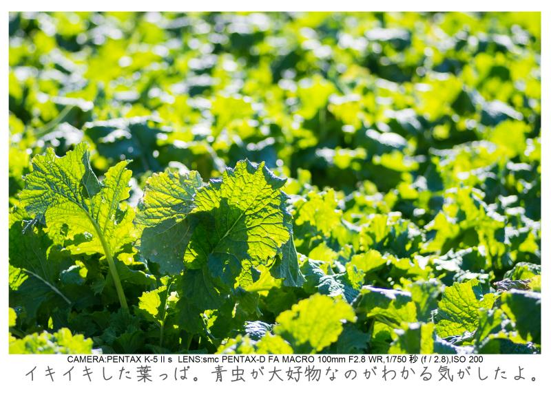 鋸南町の水仙24.jpg
