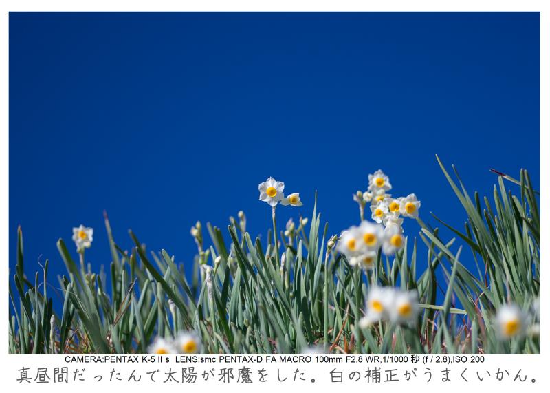 鋸南町の水仙26.jpg