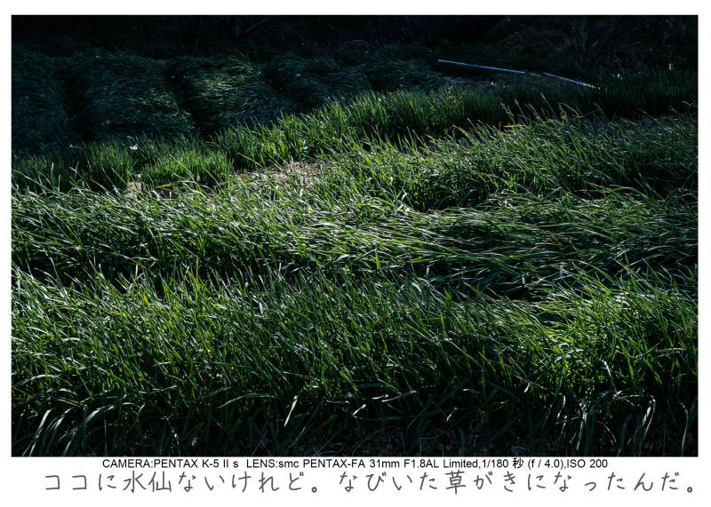 鋸南町の水仙32.jpg