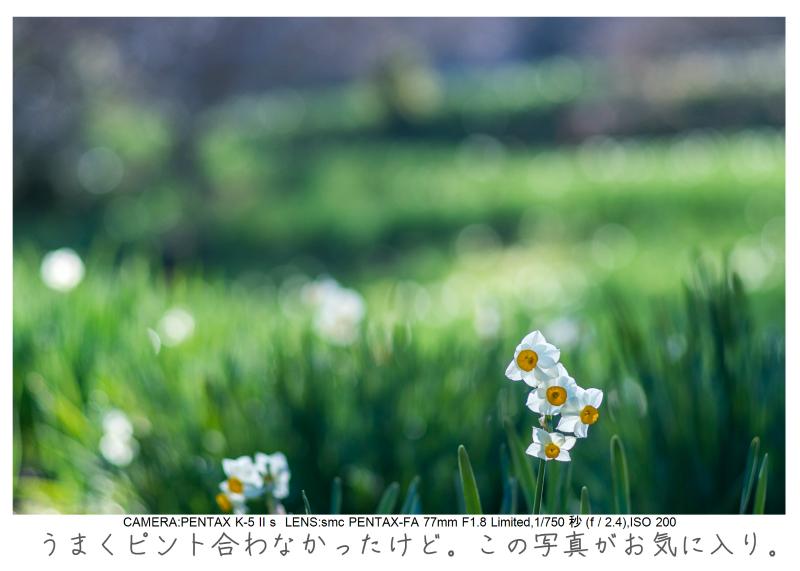 鋸南町の水仙34.jpg