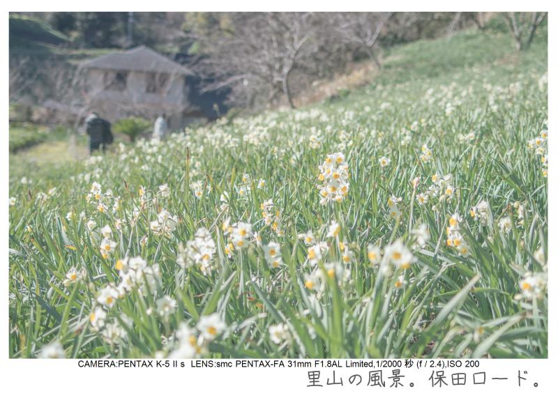 鋸南町の水仙44.jpg