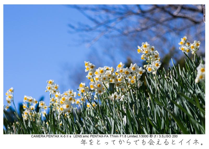 鋸南町の水仙51.jpg