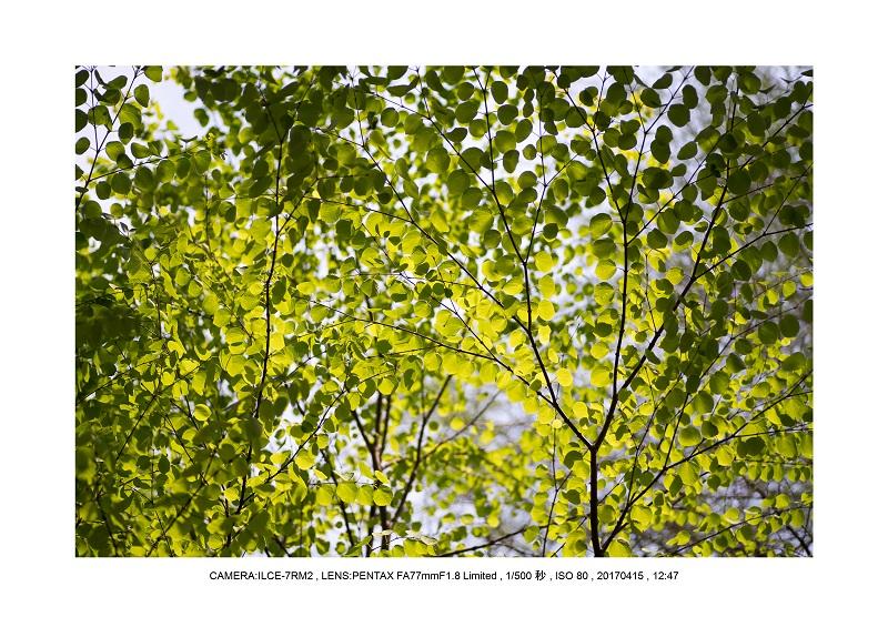 長居植物園0415ハナミズキ花水木1.jpg
