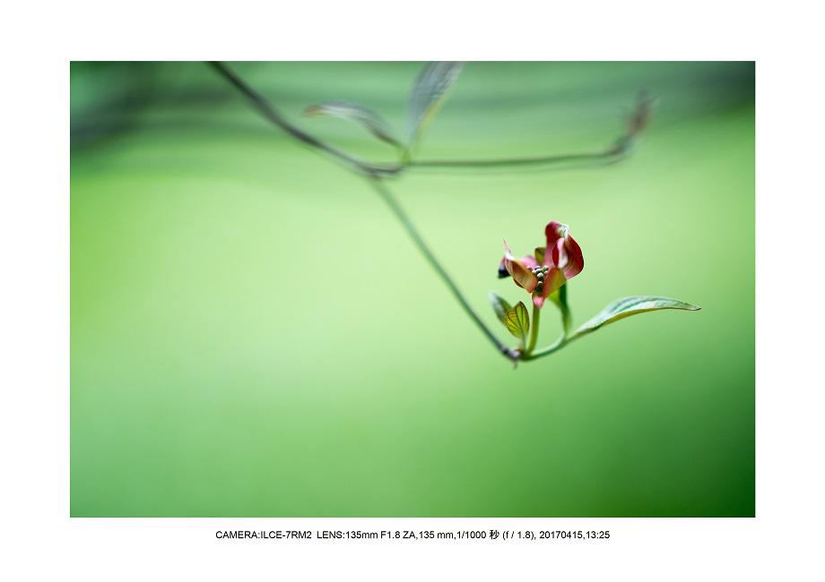 長居植物園0415ハナミズキ花水木10.jpg