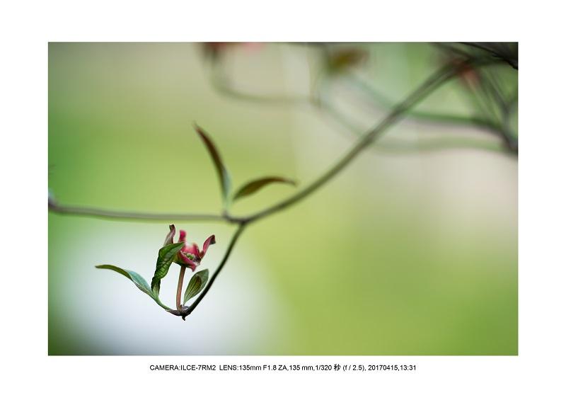 長居植物園0415ハナミズキ花水木12.jpg