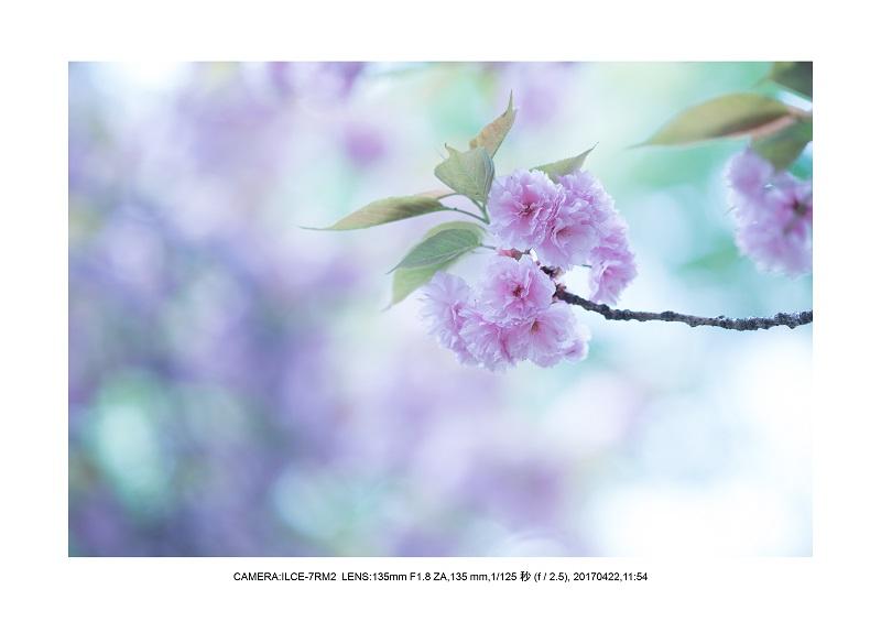 長居植物園0422カンザクラ八重桜1.jpg