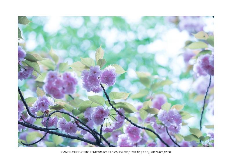 長居植物園0422カンザクラ八重桜5.jpg