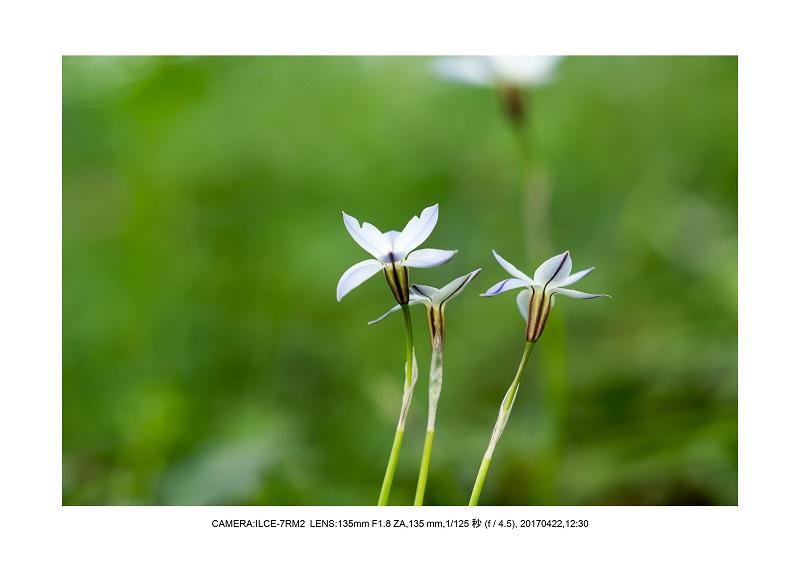 長居植物園0422カンザクラ八重桜ニラ.jpg