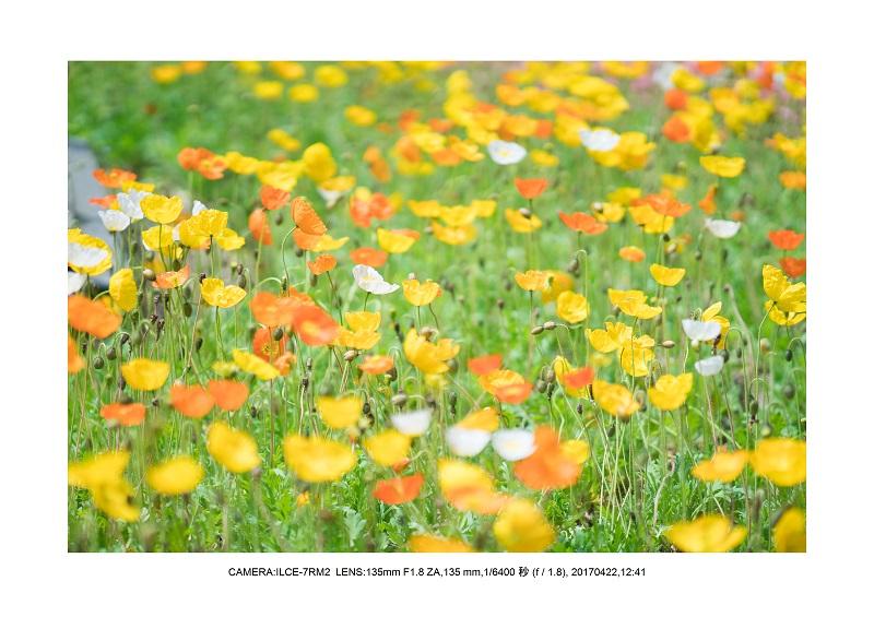 長居植物園0422カンザクラ八重桜ポピー.jpg