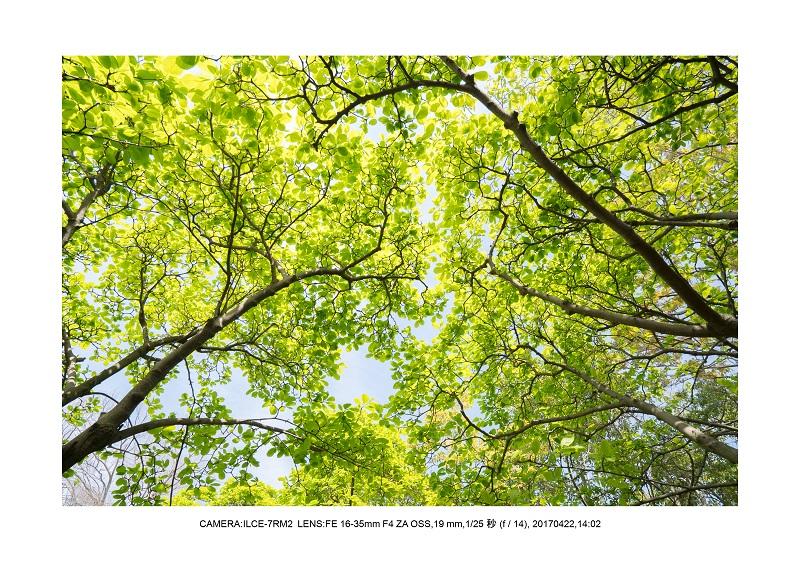 長居植物園0422カンザクラ八重桜ミドリ2.jpg