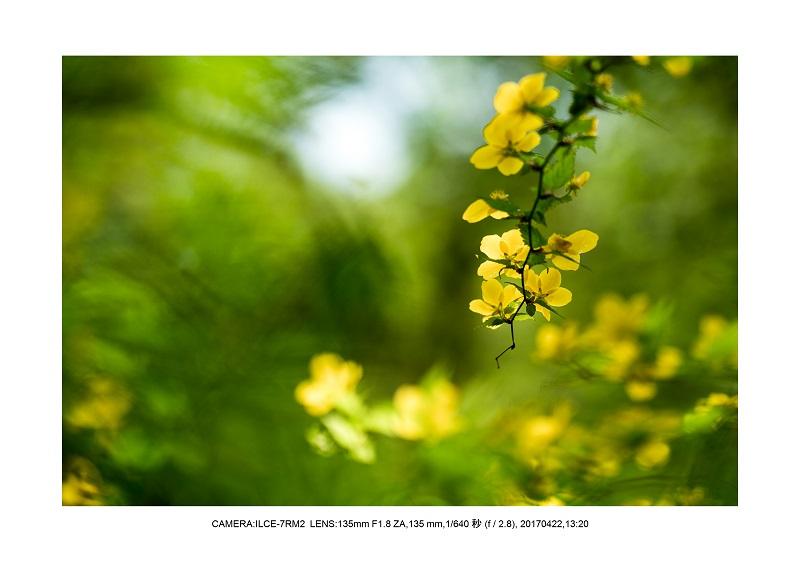 長居植物園0422カンザクラ八重桜ヤマブキ.jpg