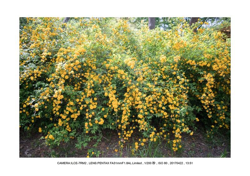 長居植物園0422カンザクラ八重桜ヤマブキ2.jpg