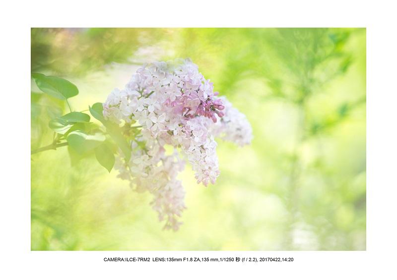 長居植物園0422カンザクラ八重桜ライラック.jpg