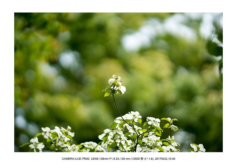 長居植物園0422ハナミズキ花水木1.jpg