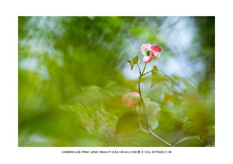 長居植物園0422ハナミズキ花水木10.jpg
