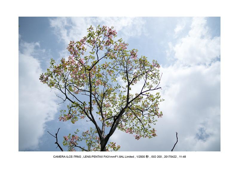 長居植物園0422ハナミズキ花水木12.jpg