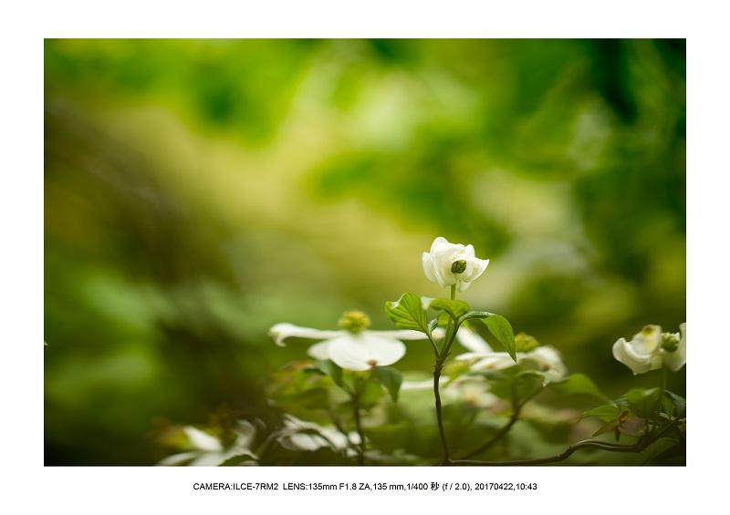 長居植物園0422ハナミズキ花水木2.jpg