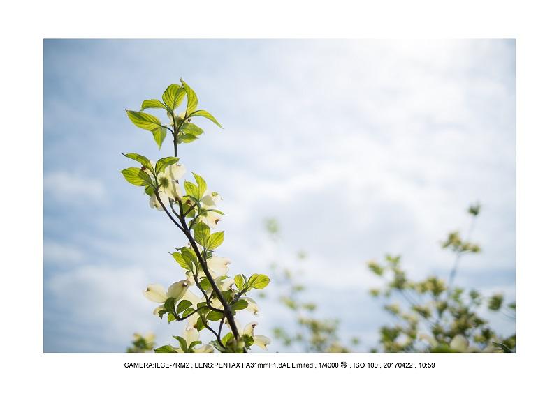長居植物園0422ハナミズキ花水木3.jpg