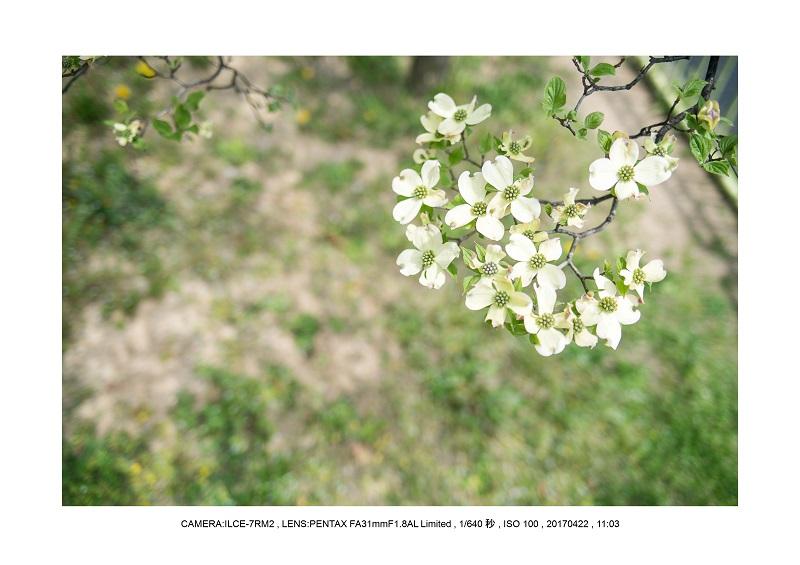長居植物園0422ハナミズキ花水木4.jpg