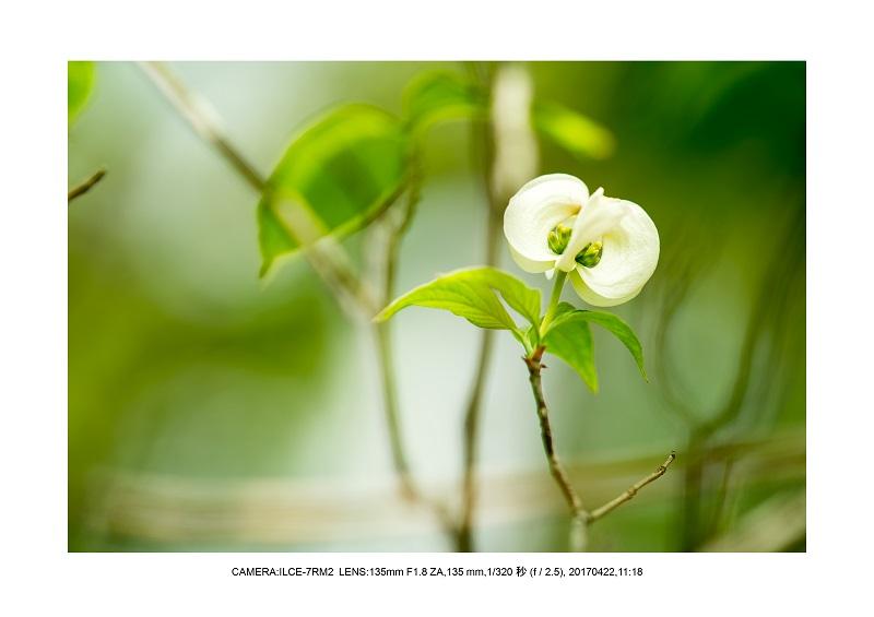 長居植物園0422ハナミズキ花水木5.jpg