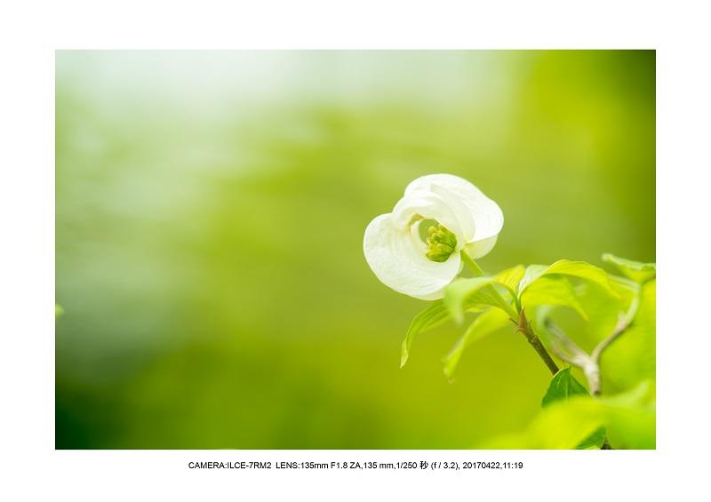 長居植物園0422ハナミズキ花水木6.jpg