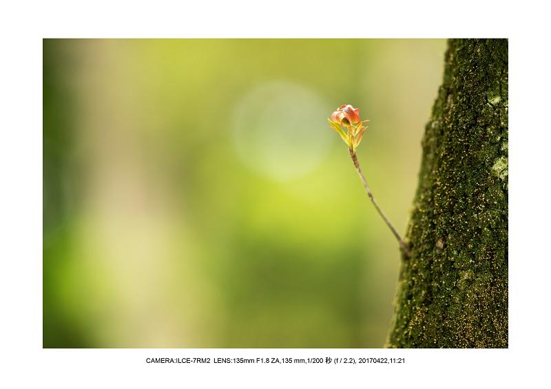 長居植物園0422ハナミズキ花水木7.jpg